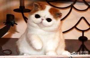 加菲猫有哪些优点及缺点?加菲猫性格优点缺点-猫咪品种