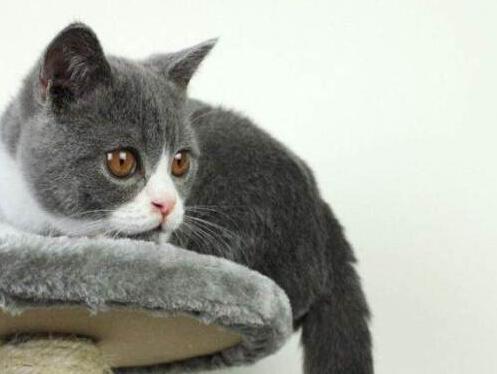 猫类霉菌感染症